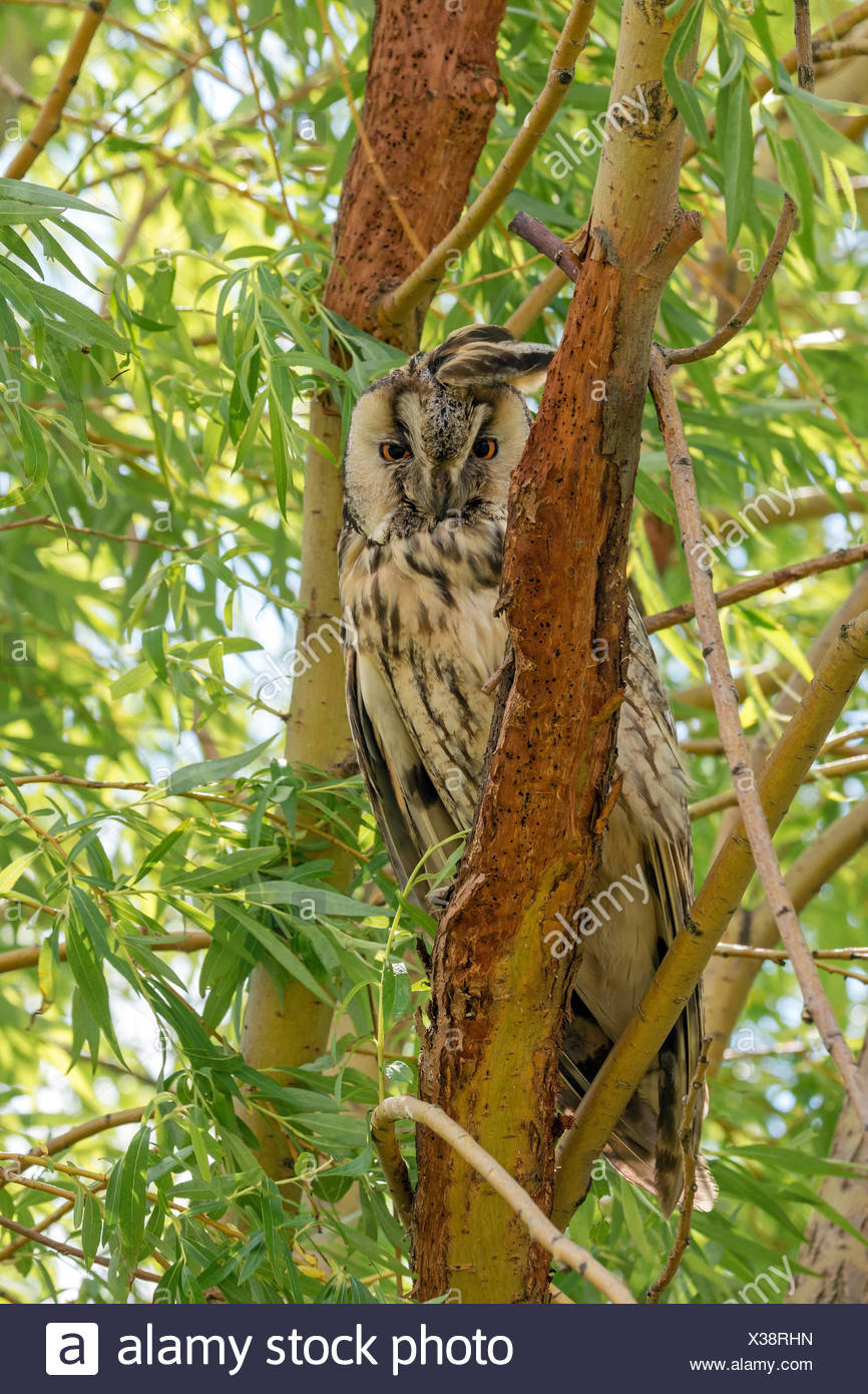 long-eared owl (Asio otus), sitting on a branch staring, Austria, Burgenland - Stock Image