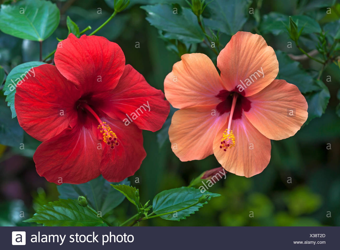 Two hibiscus stock photos two hibiscus stock images page 2 alamy chinese hibiscus hibiscus rosa sinensis red and pink flowers stock image izmirmasajfo