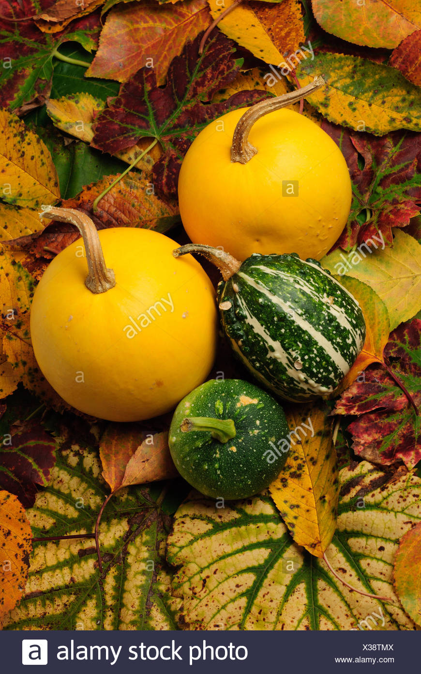 leaves cucurbits orange leaf tree trees garden plant green leaves flora grapes Stock Photo