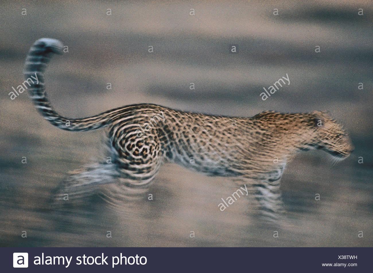 Leopard, Ostafrika - Stock Image