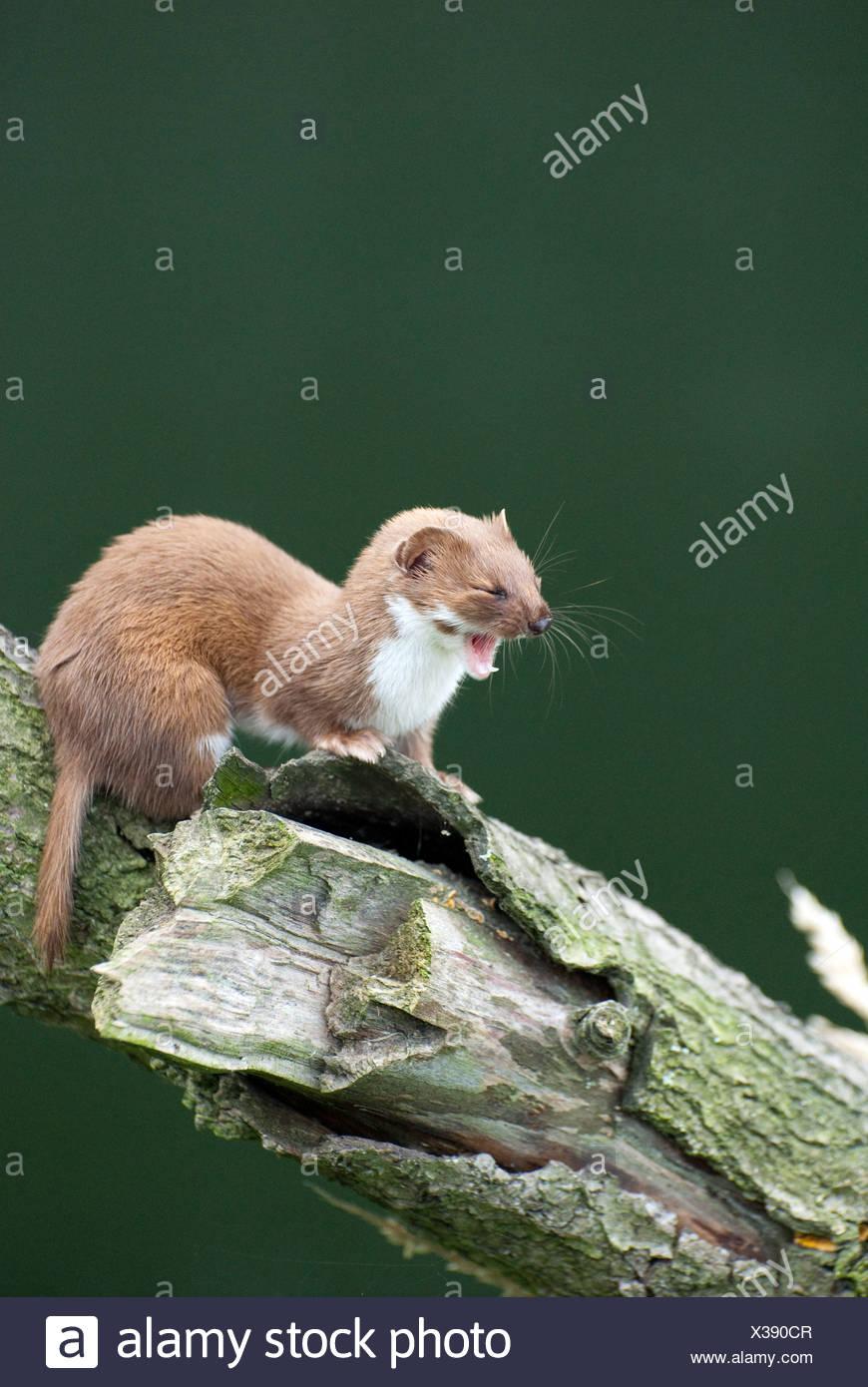 Weasel yawning,  British Wildlife Centre, UK - Stock Image