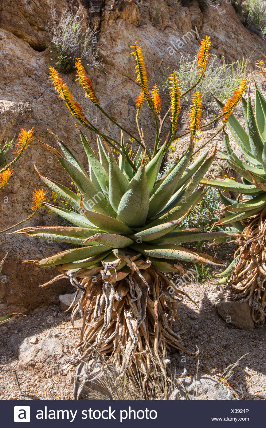 Mountain Aloe, Flat flowerd Aloe, Large Spiny Aloe (Aloe marlothii), flowering at a rock wall, USA, Arizona, Boyce Thompson Arboretum - Stock Image