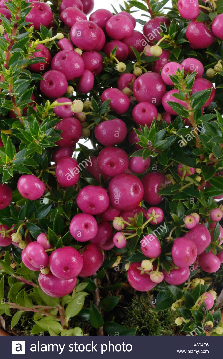 Pernettya Mucronata.Prickly Heath Pernettya Mucronata Gaultheria Mucronata Fruiting Stock Photo Alamy