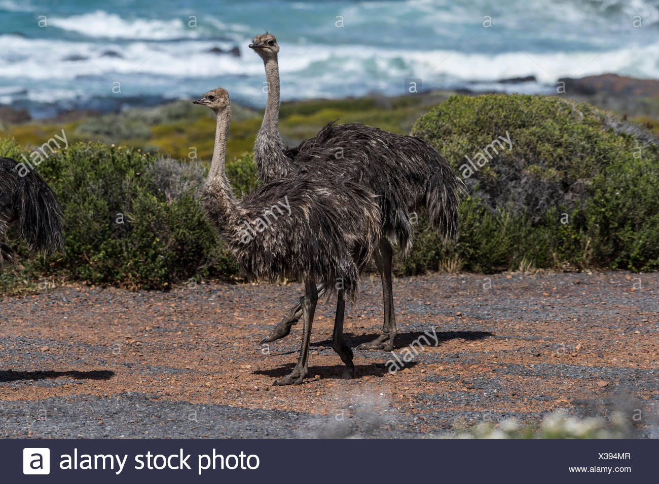 Ostriches (Struthio camelus), two young birds, Tafelberg national park, western Cape Province, South Africa - Stock Image