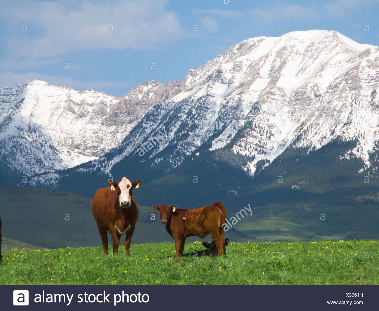 Livestock - Crossbred beef cow on a foothill pasture with snow covered Canadian Rockies in the background / Alberta, Canada. - Stock Image