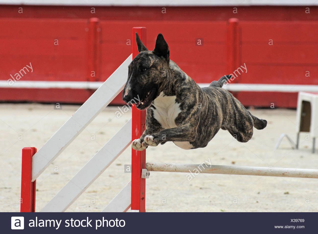 dog spring bouncing bounces hop skipping frisks jumping jump agility sport sports run running runs motion postponement moving - Stock Image
