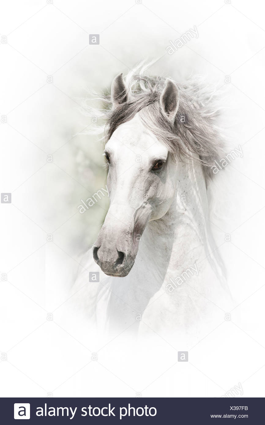 Lusitano Gray stallion seen against white background - Stock Image