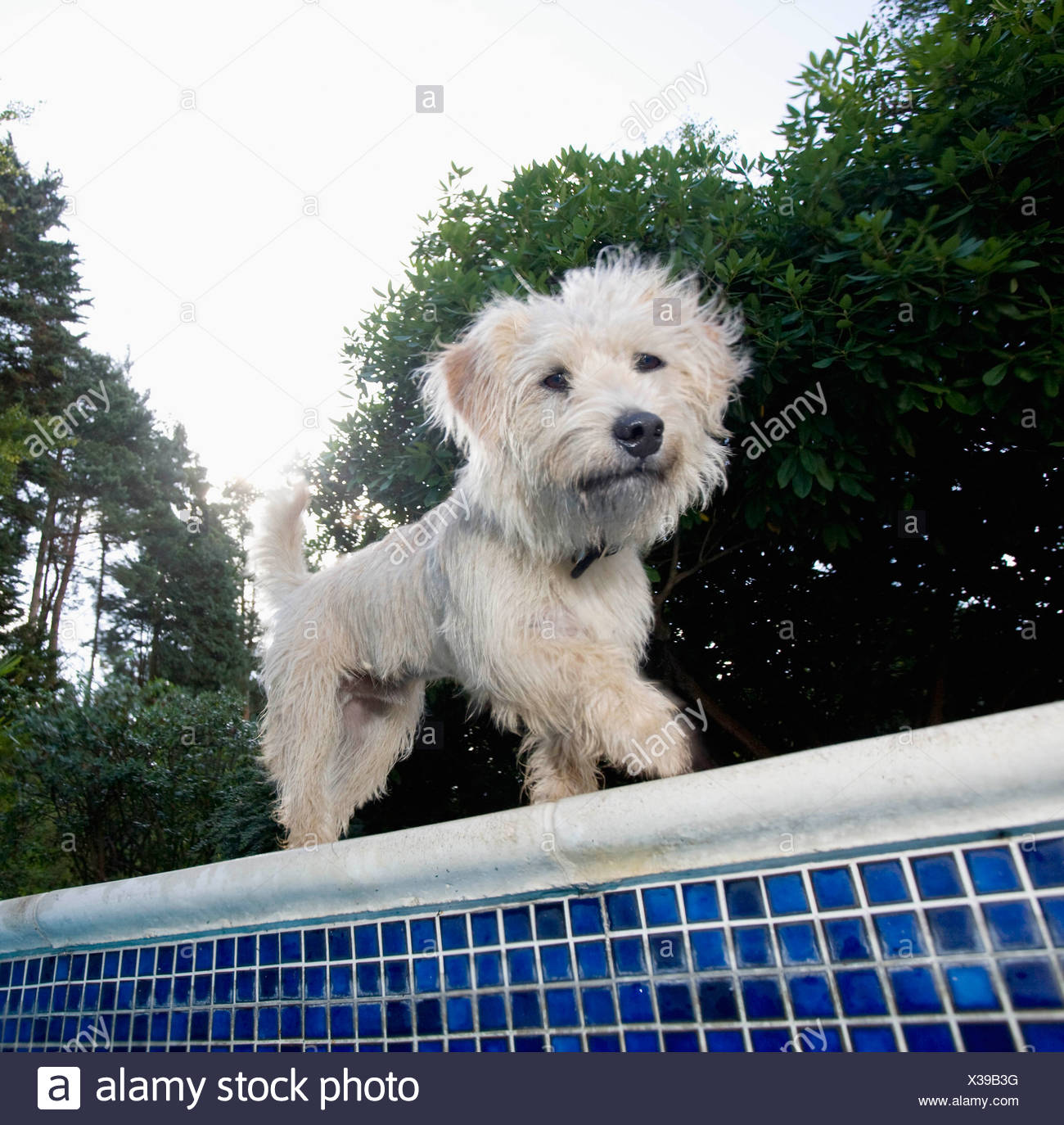 Dog walking at edge of pool - Stock Image