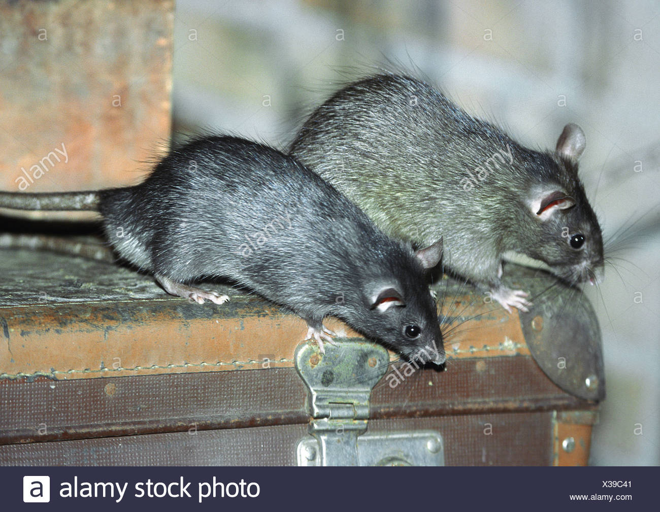 black rat, roof rat, house rat, ship rat (Rattus rattus), two animals on an old suitcase - Stock Image