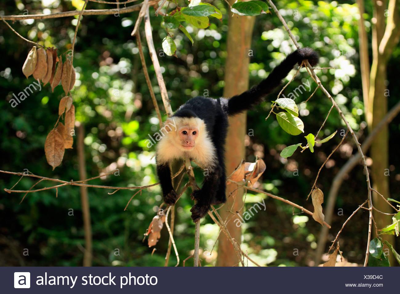 White-headed Capuchin (Cebus capucinus), male, in a tree, Roatan, Honduras, Caribbean, Central America, Latin America Stock Photo