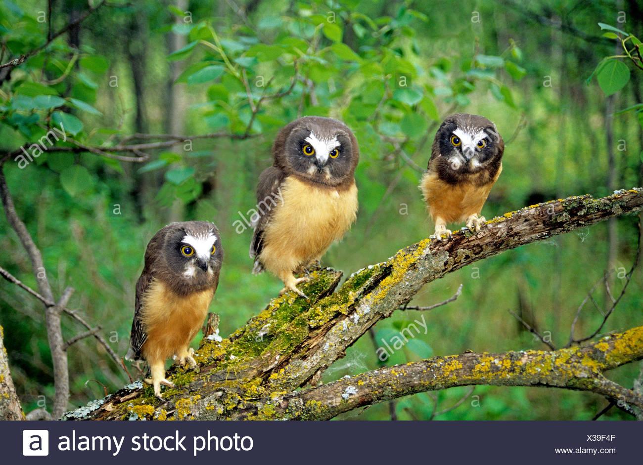 Northern saw-whet owl fledglings (Aegolius acadicus), Alberta, Canada. - Stock Image