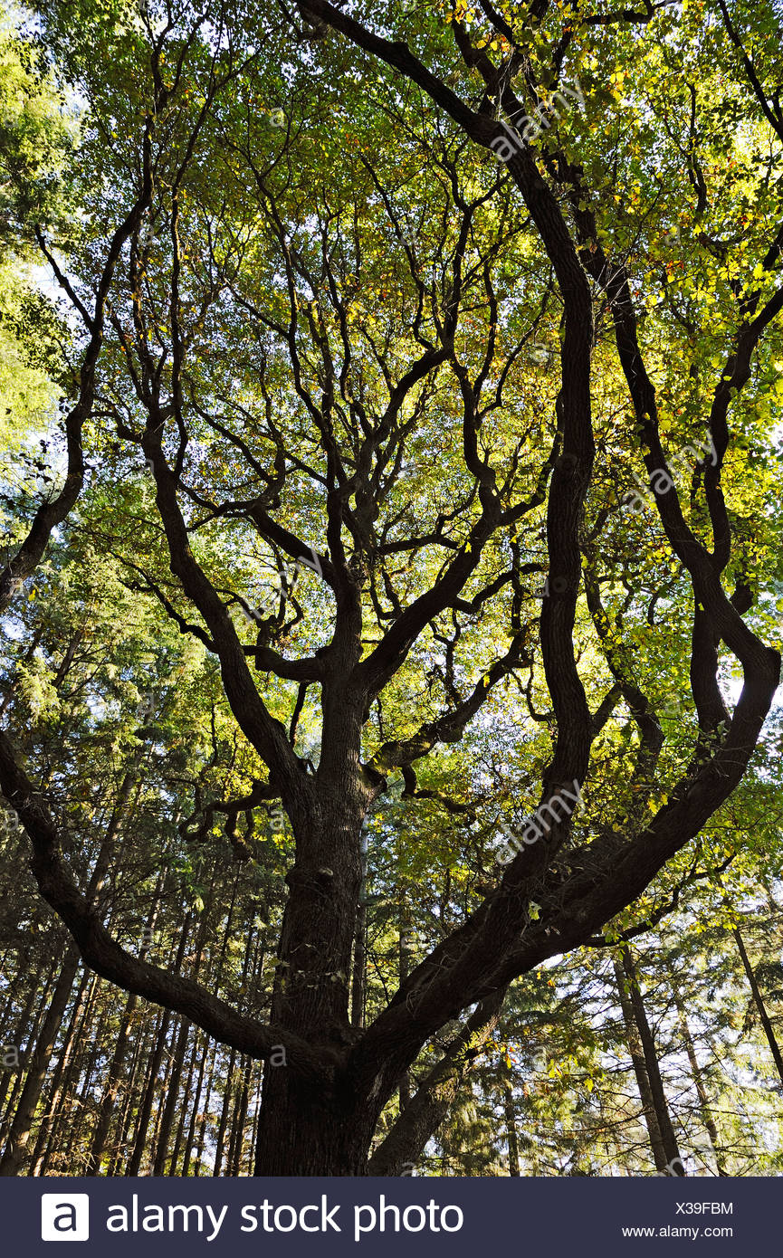 Treetop of an Oak (Quercus) in sunlight, Mettlach, Saarland, Germany, Europe - Stock Image