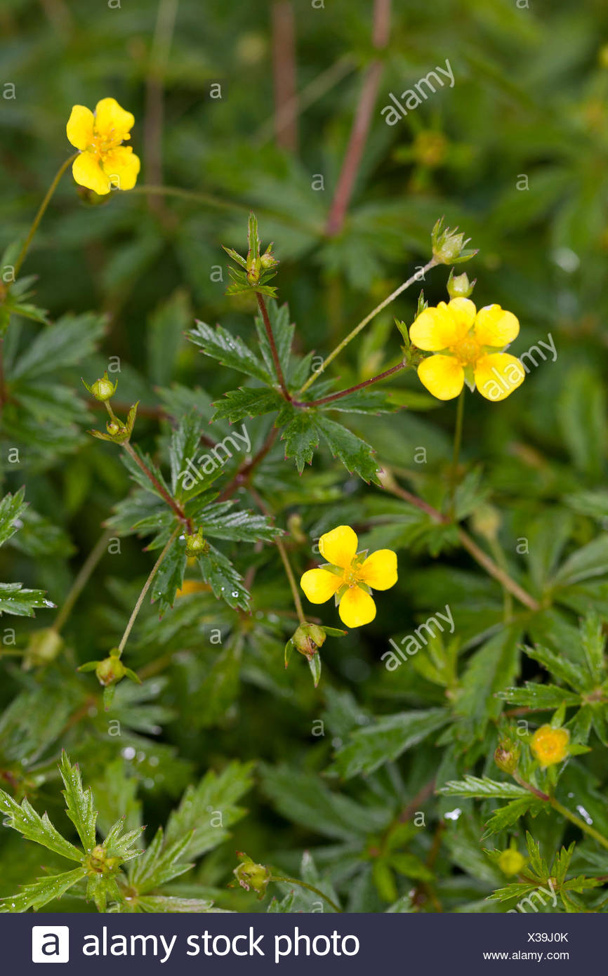 Common tormentil, Blootroot, Shepherd`s Knot (Potentilla erecta), blooming, Germany - Stock Image