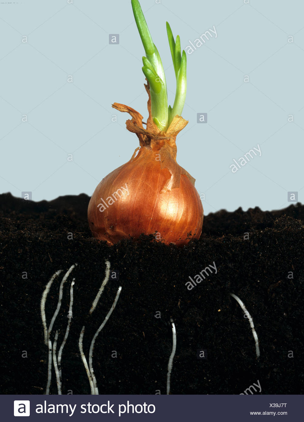 Onion bulb beginning to shoot and develop roots in the soil - Stock Image