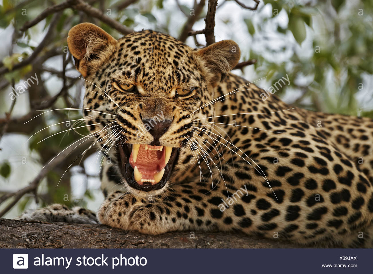 African Leopard Panthera pardus pardus adult male close-up head snarling resting on branch in tree Sabi Sand Game Reserve Stock Photo