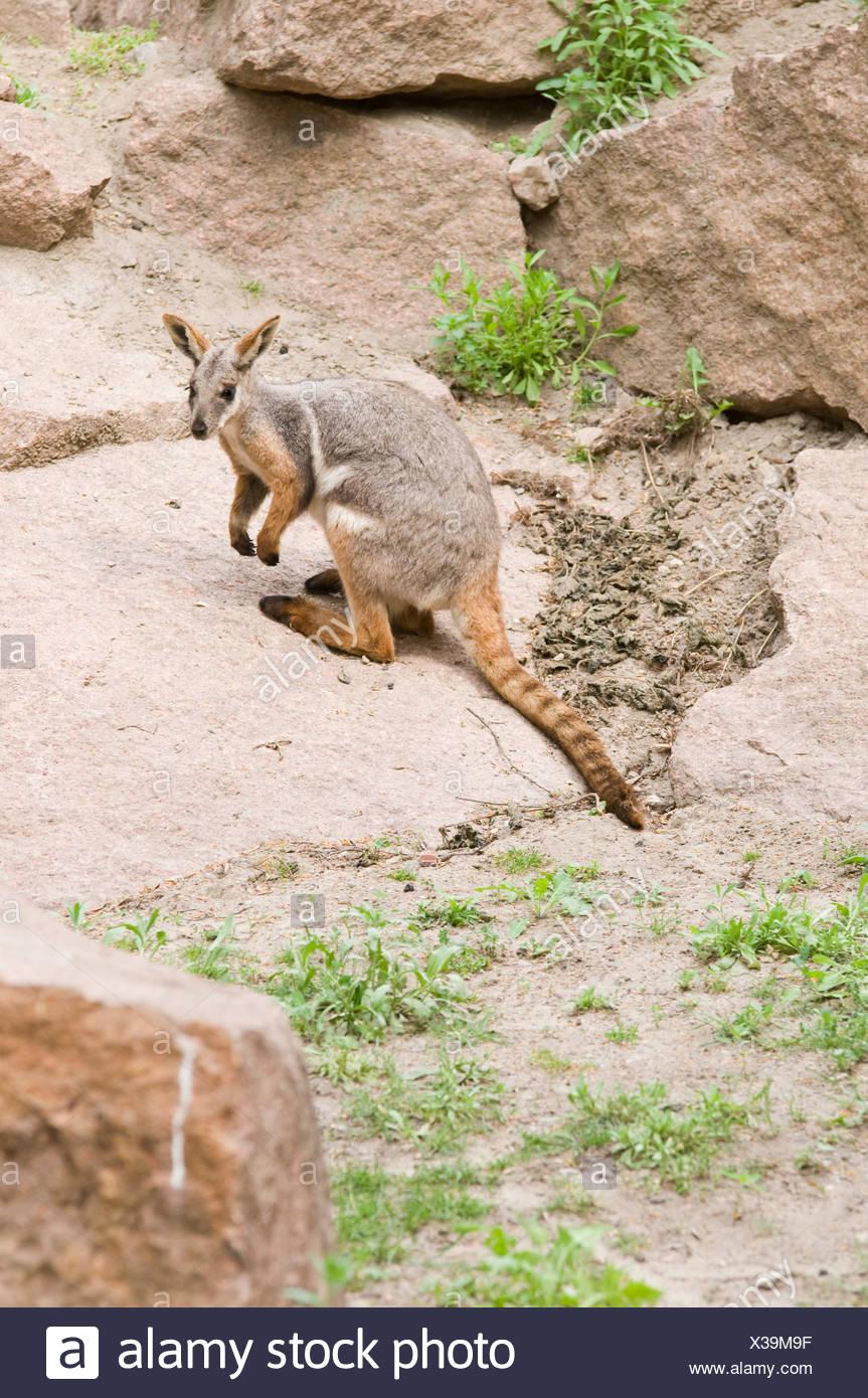 kangaroo looking at camera - Stock Image