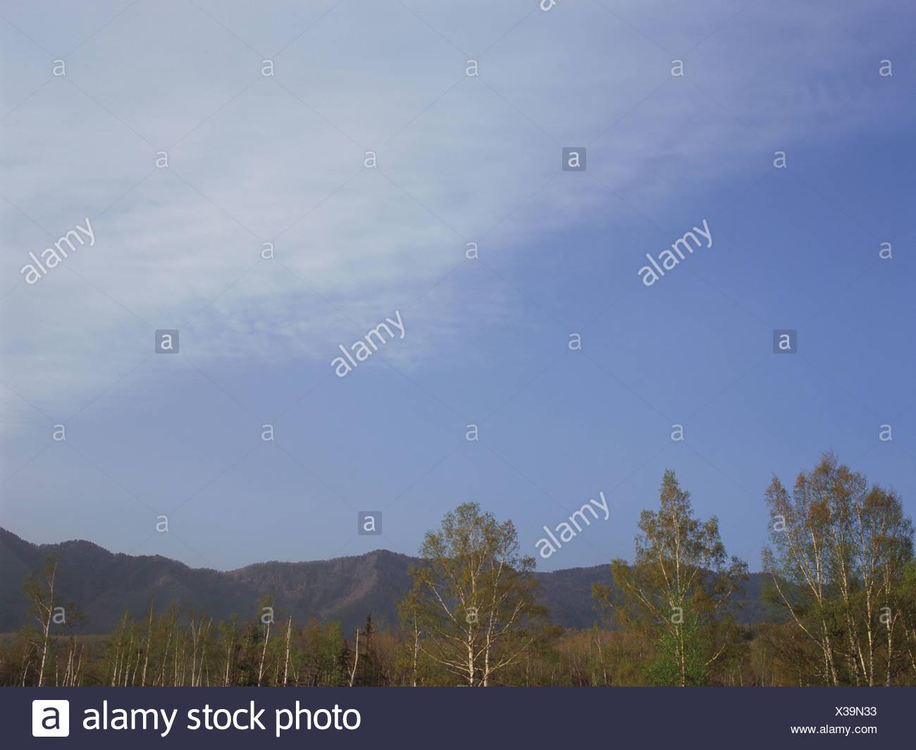 Silver birch forest, Norikura, Nagano Prefecture, Japan - Stock Image