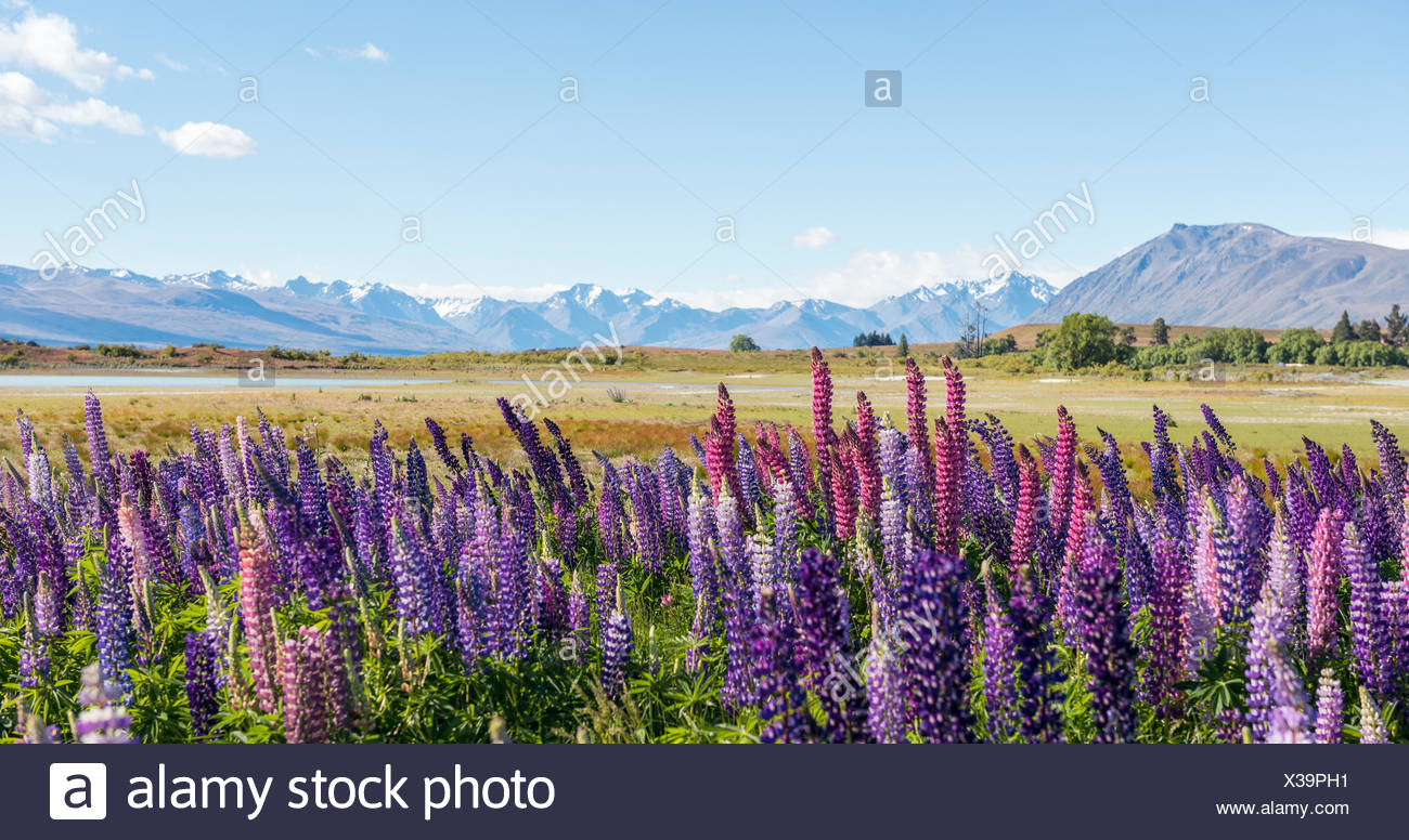 Purple large-leaved lupins (Lupinus polyphyllus), Lake Tekapo in front of Southern Alps, Canterbury, South Island, New Zealand Stock Photo