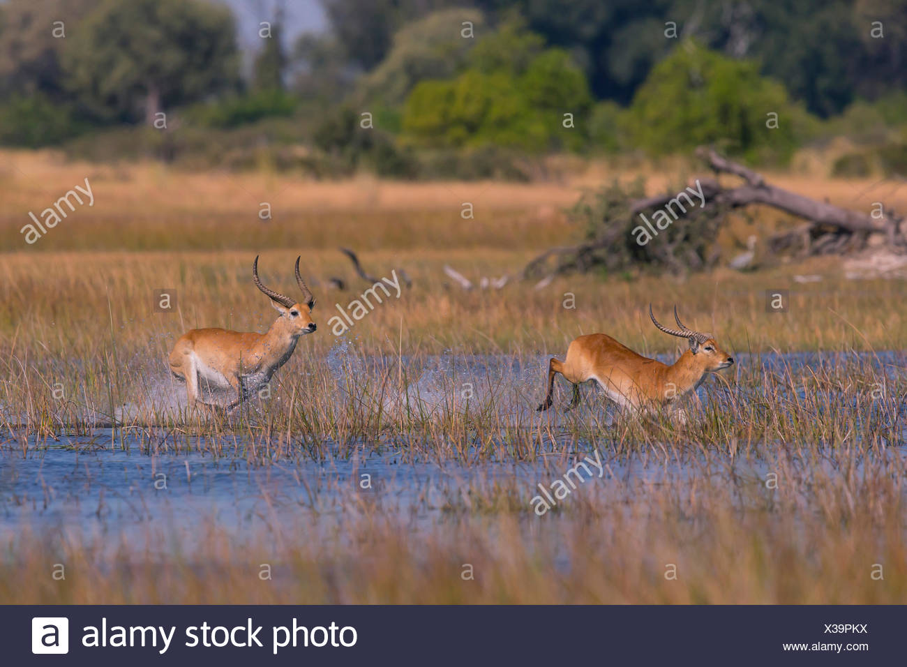 Red Lechwe (Kobus leche leche) pair taking flight in leaping bounds through the freshwater marsh - Stock Image
