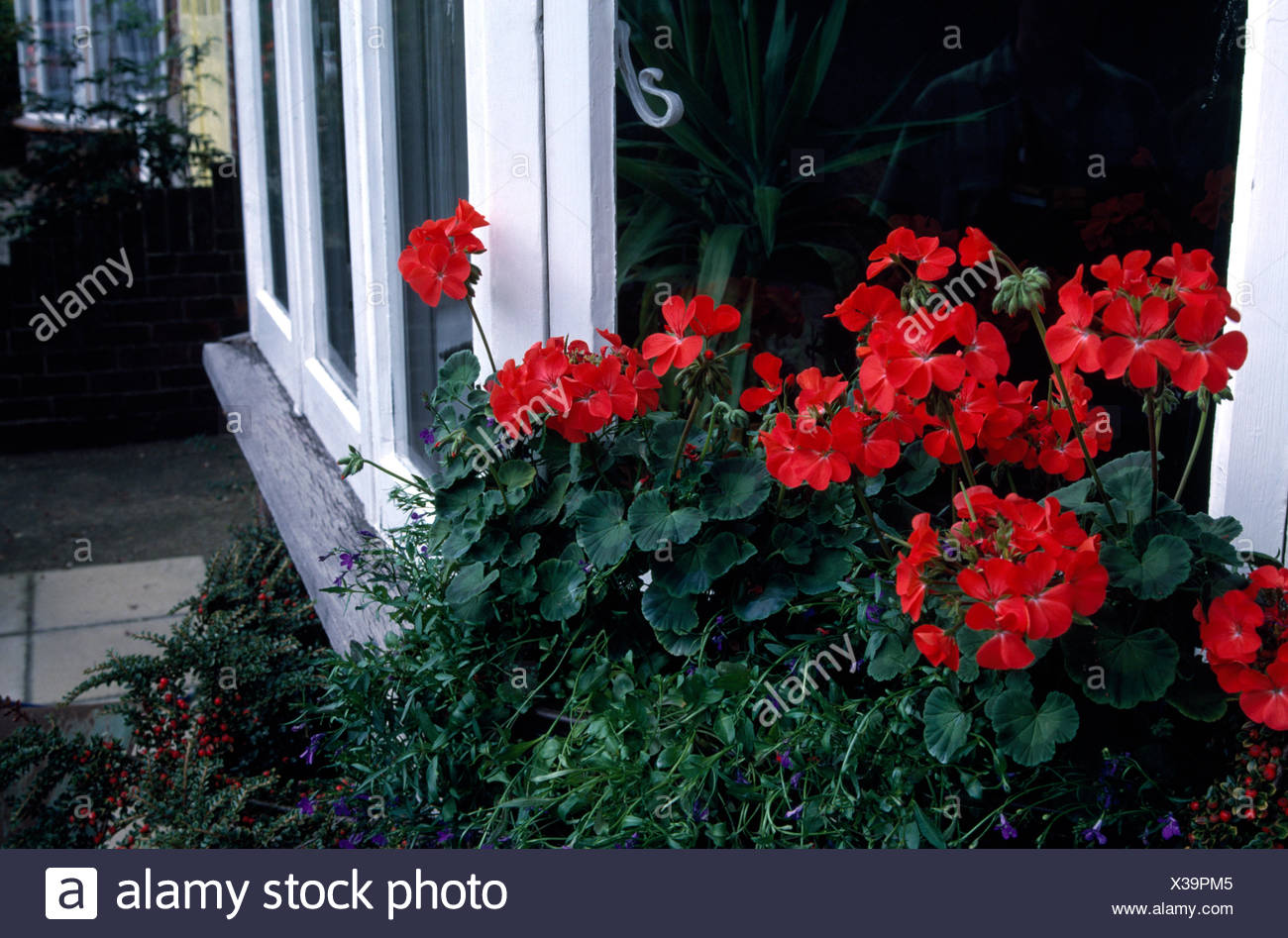 Close-up of red geraniums in a window box - Stock Image