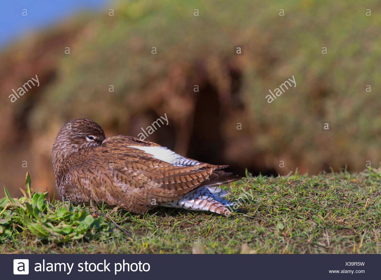 common redshank (Tringa totanus), sleeping in breeding plumage at a cliff, side view, Germany, Schleswig-Holstein - Stock Image
