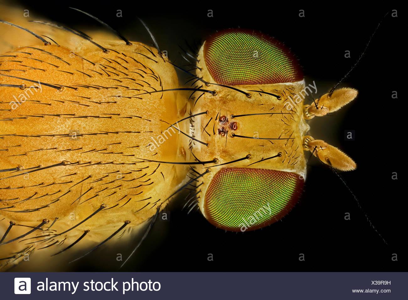 Fliegen (Brachycera (Diptera)), Makroaufnahme einer Fliege mit gruenen Augen | true flies (Brachycera (Diptera)), fly with green Stock Photo