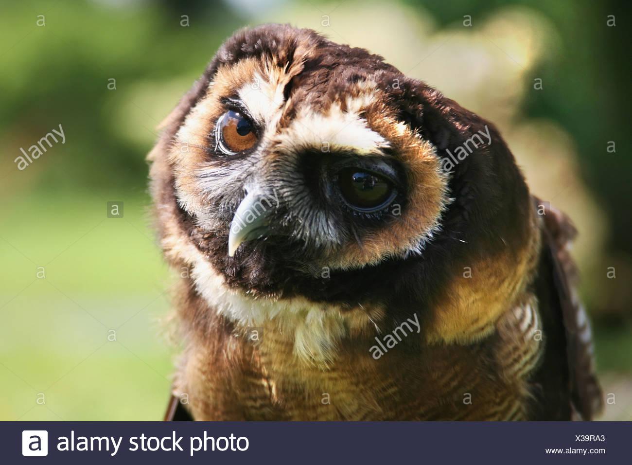 Russian Owl; Windermere,Cumbria, England - Stock Image