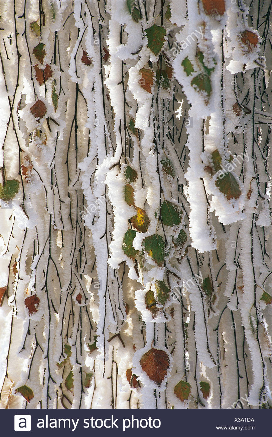 Birch leaves (Betula) with white frost - Stock Image