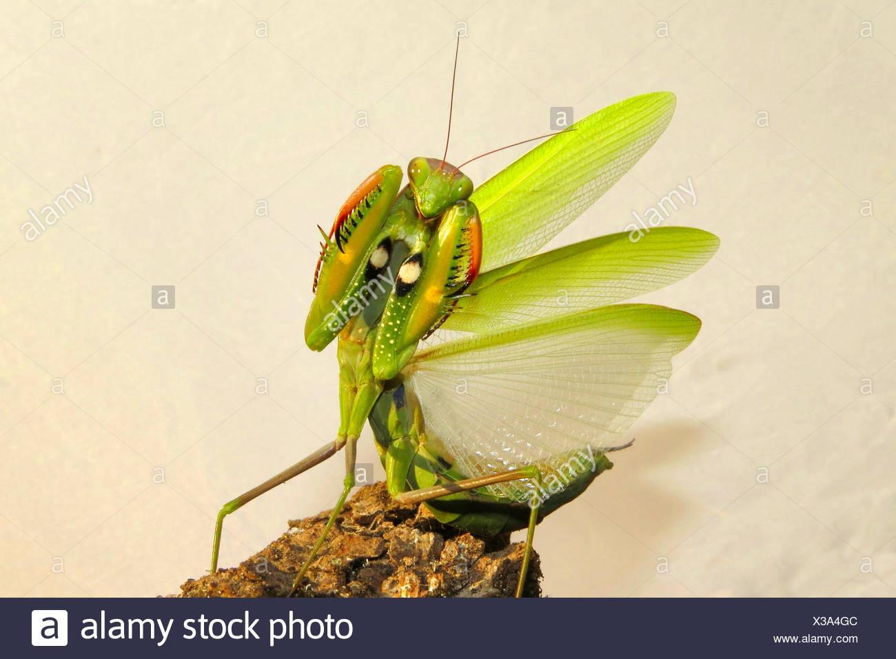 Europaeische Gottesanbeterin (Mantis religiosa), in Drohgebaerde, Spanien | European preying mantis (Mantis religiosa),  threate - Stock Image
