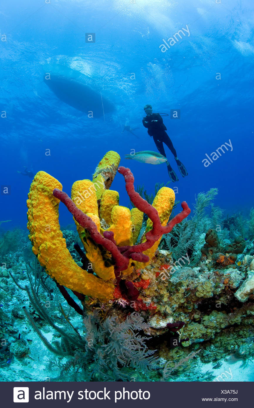 Colorful Yellow branching sponges mark a coral reef in the Turks & Caicos Islands. Stock Photo
