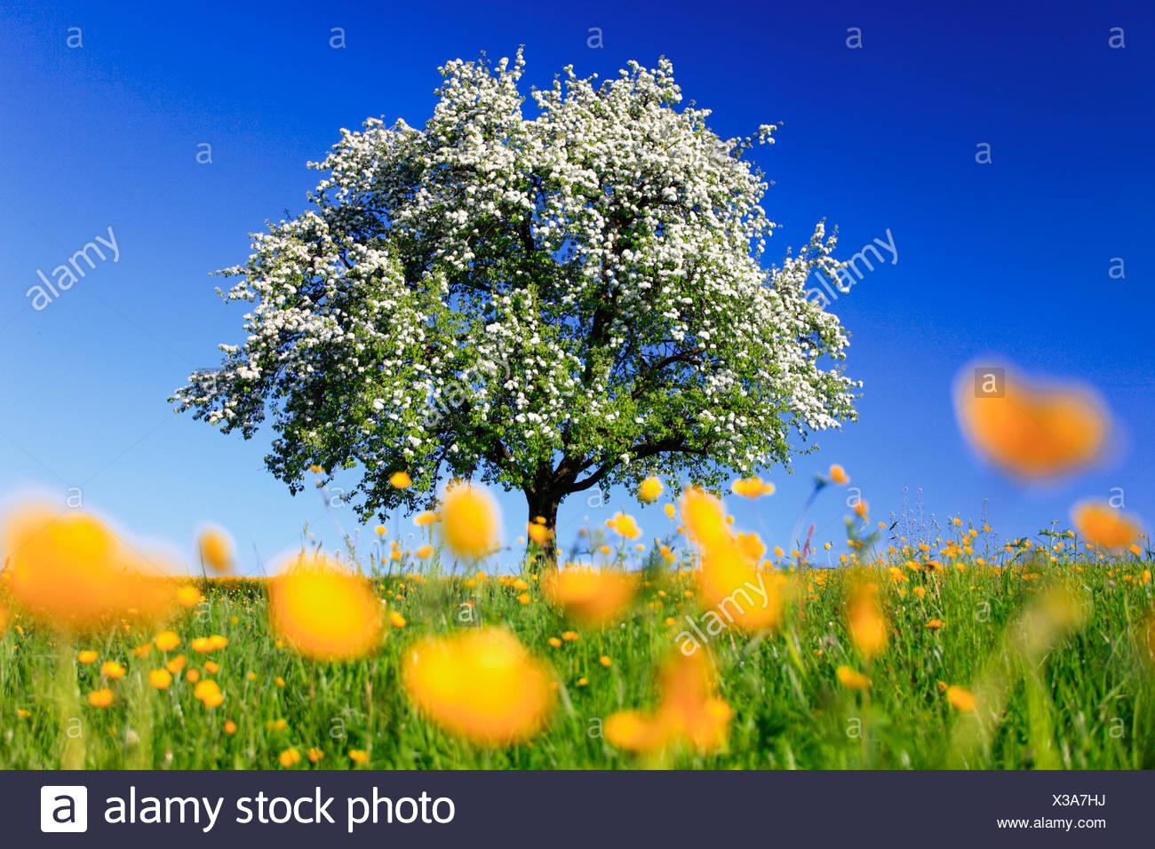 Below blossoms tree stock photos below blossoms tree for Domestica in svizzera