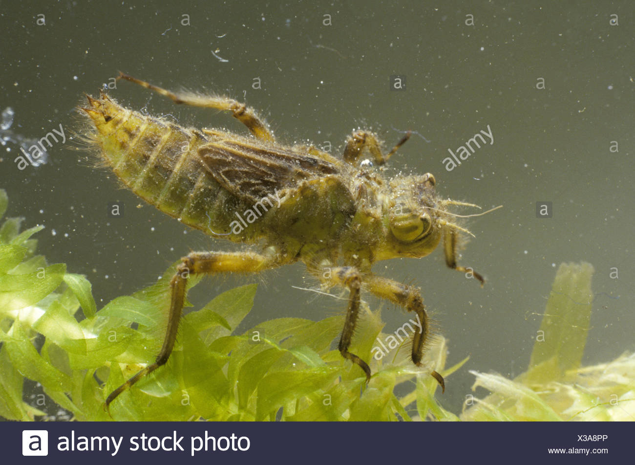 Broad-bodied Chaser Dragonfly larvae - Libellula depressa - Stock Image