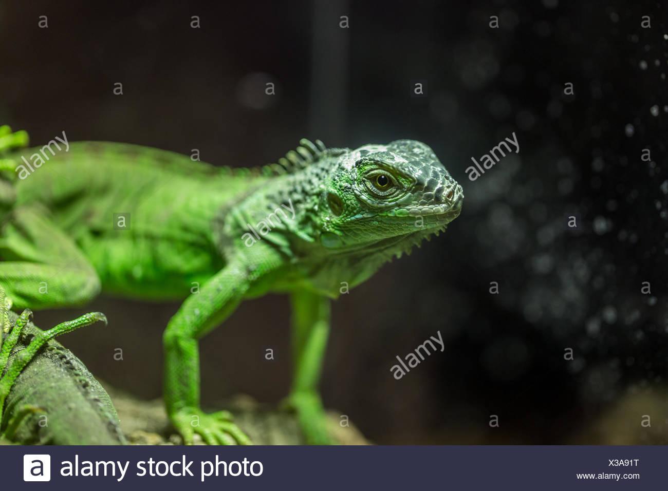 Small Lizard In Terrarium For Home Decor Stock Photo 277436484 Alamy