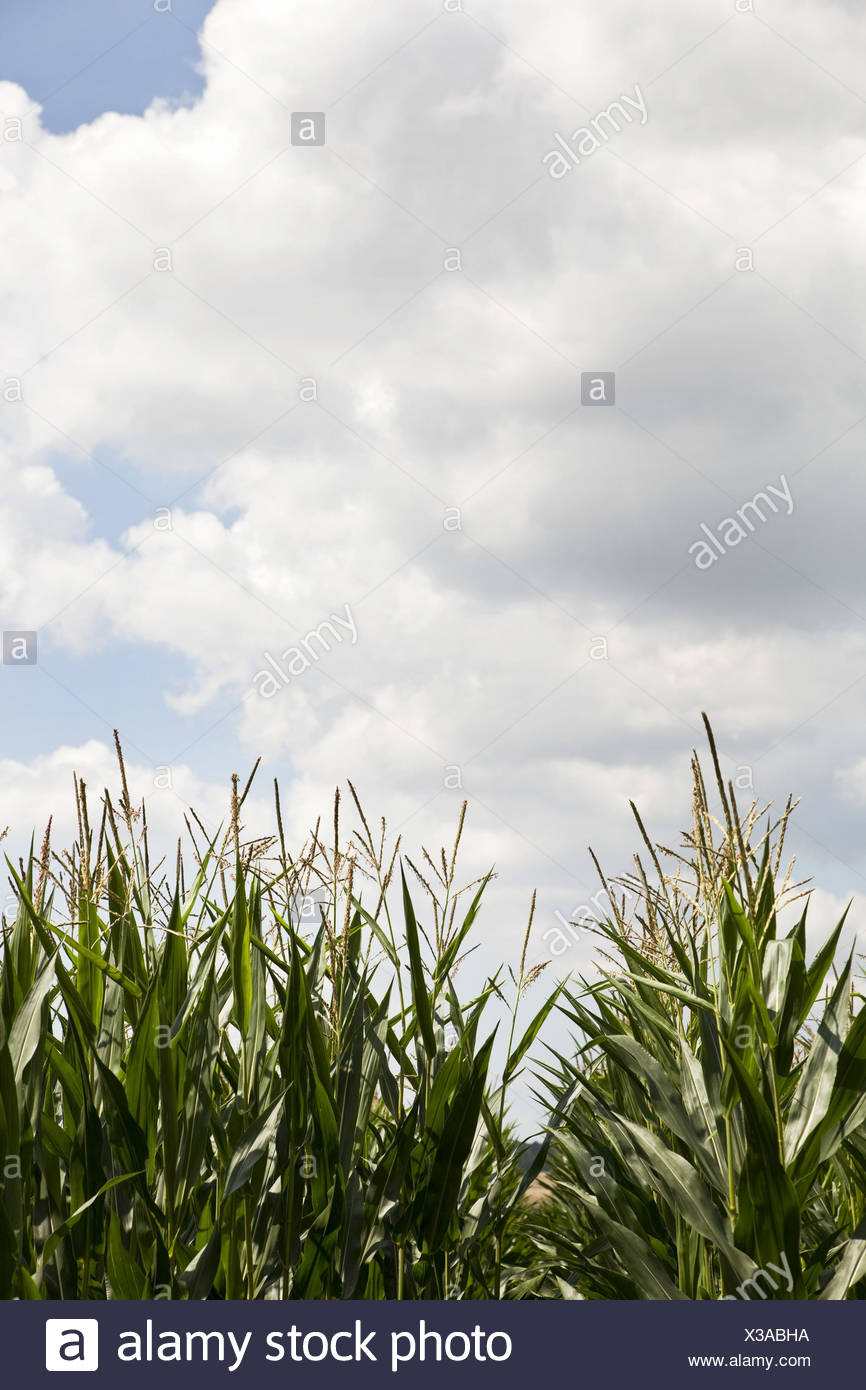 Corn field, cloudy sky, - Stock Image