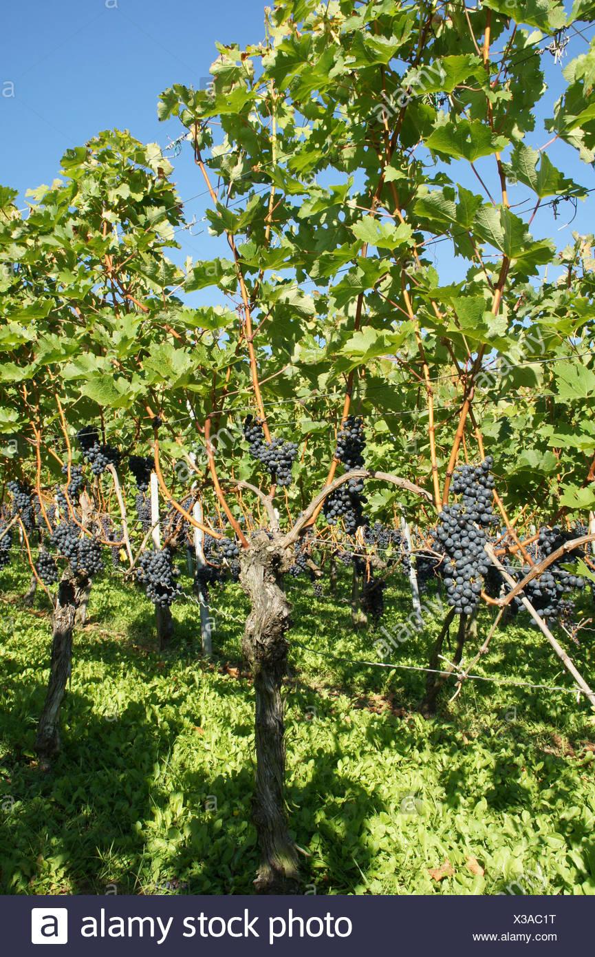 Vitis vinifera Merlot, Grape vine Stock Photo