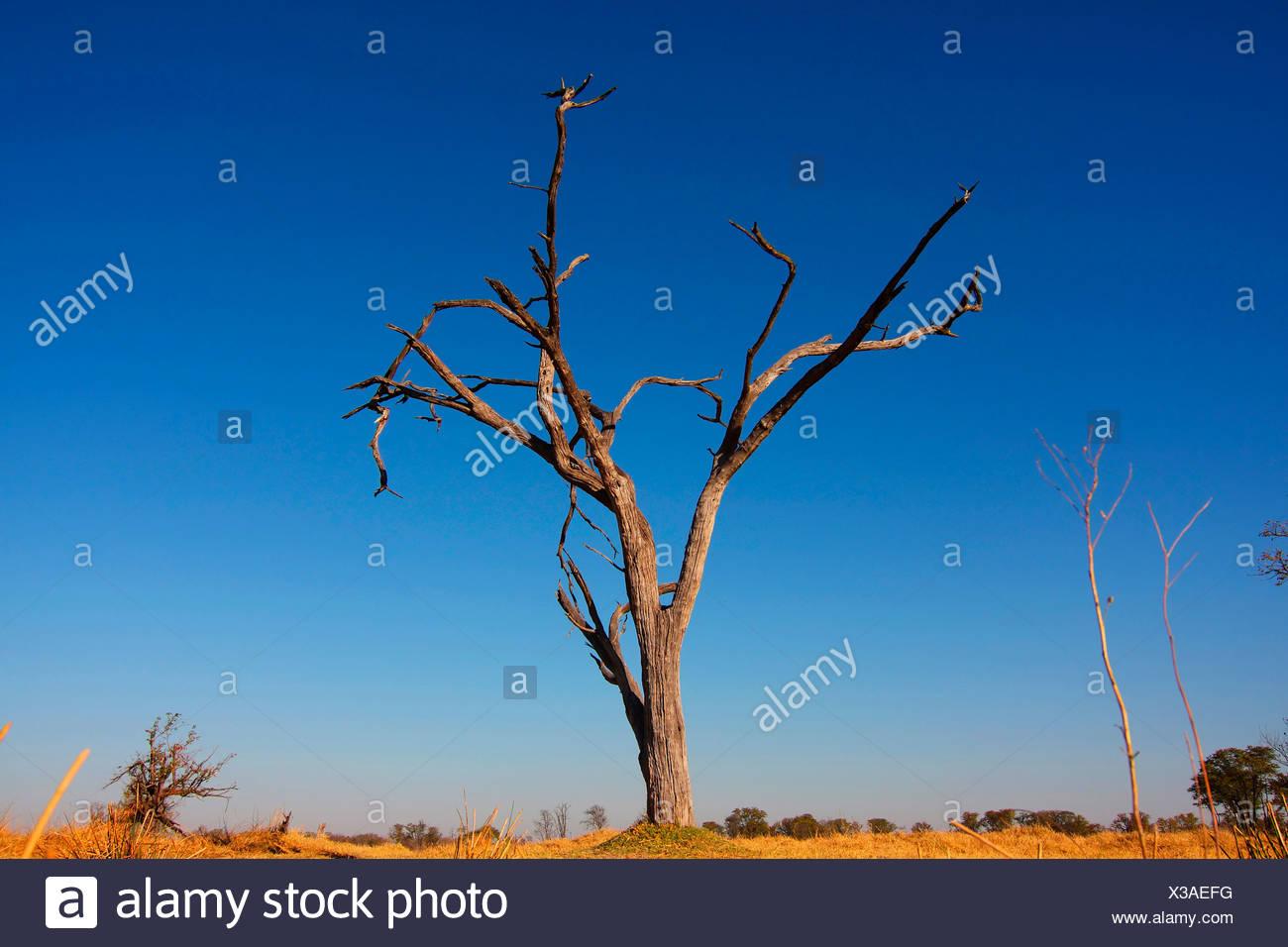 acacias (Acacia spec.), dead tree, Botswana, Okavango, Moremi Game Reserve - Stock Image