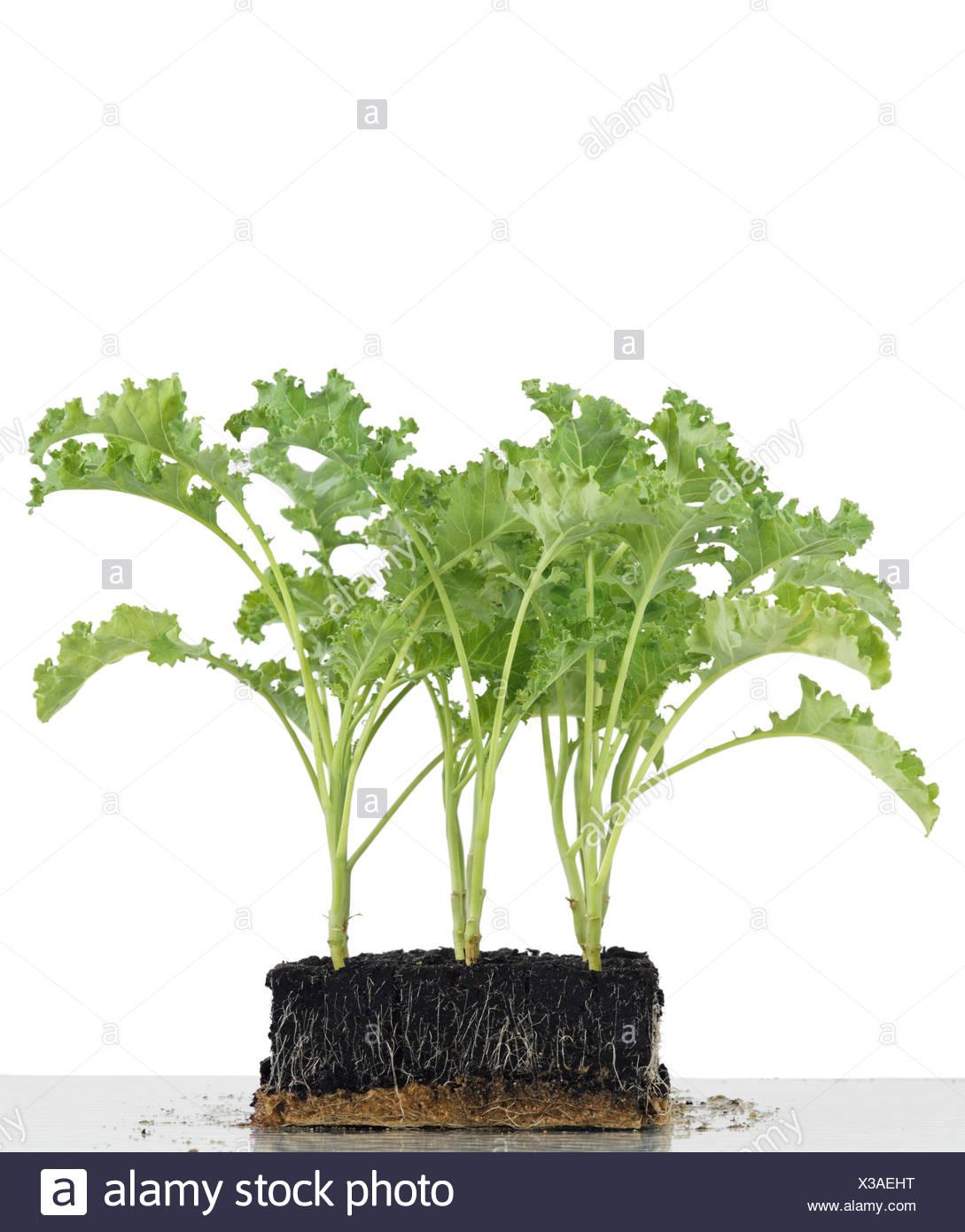 Freigestellte Setzlinge in Anzucht würfeln aus Erde, Gemüse Grünkohl. - Stock Image