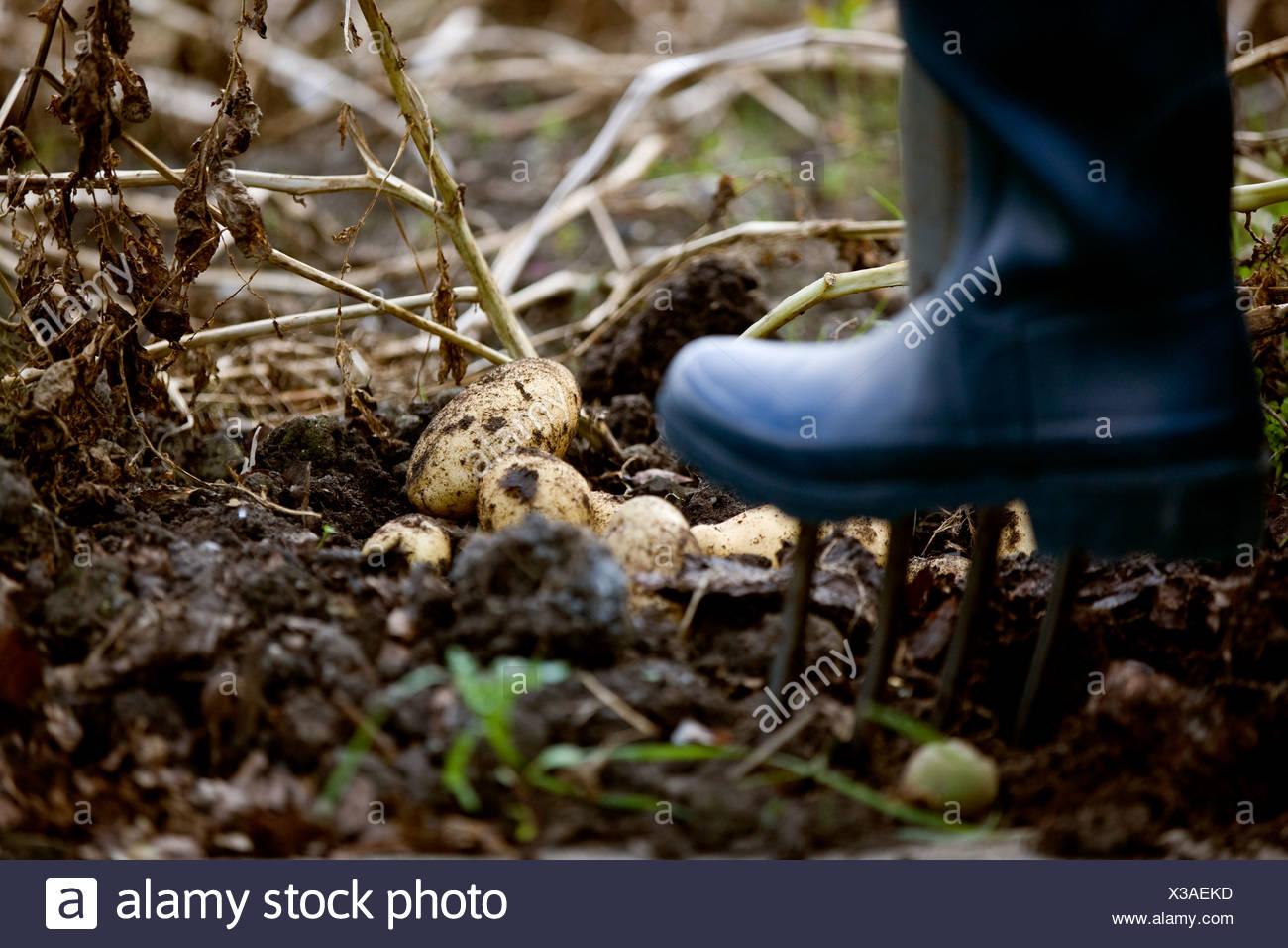 A gardener digging up potatoes on an allotment - Stock Image