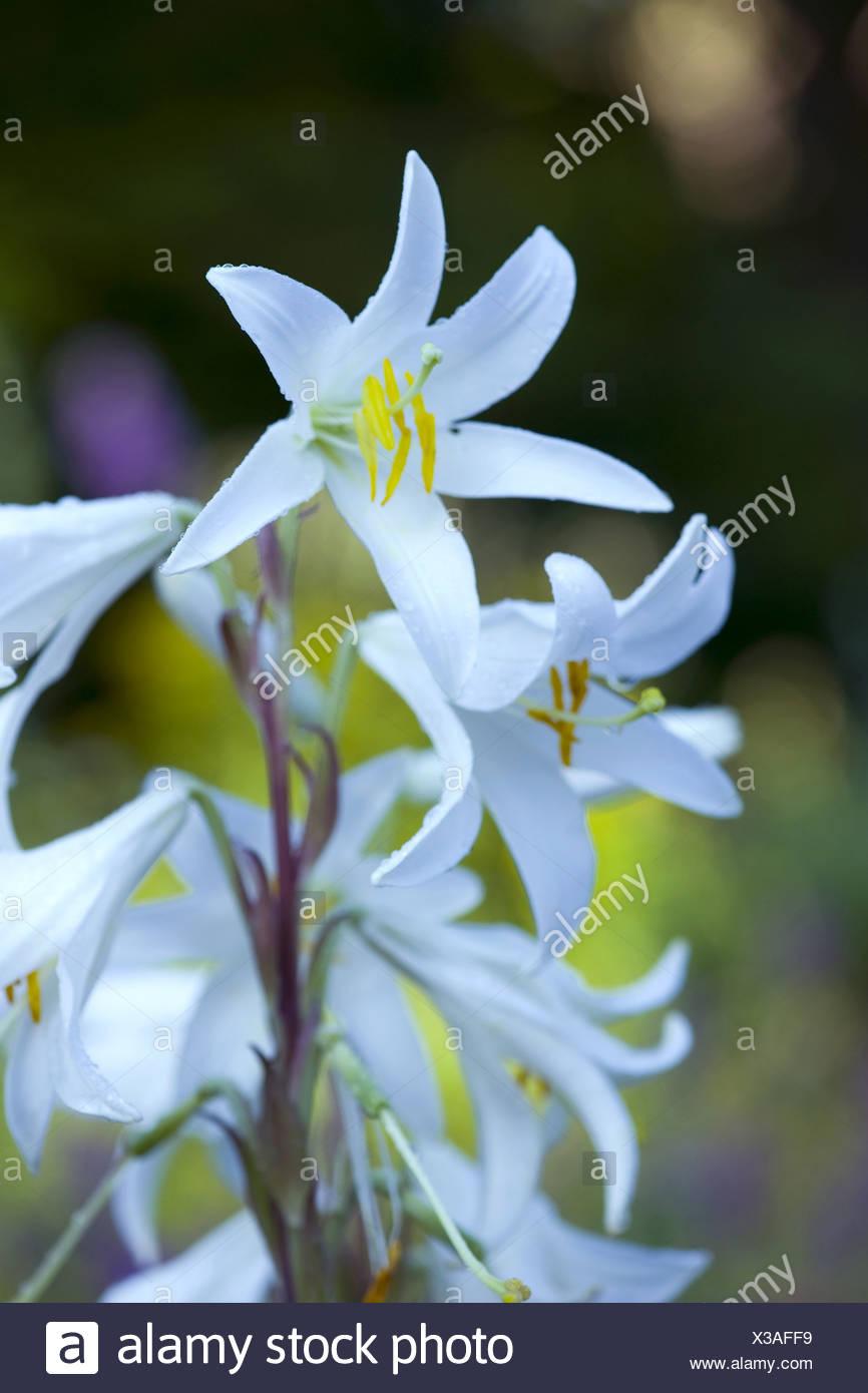 madonna lily, lilium candidum Stock Photo