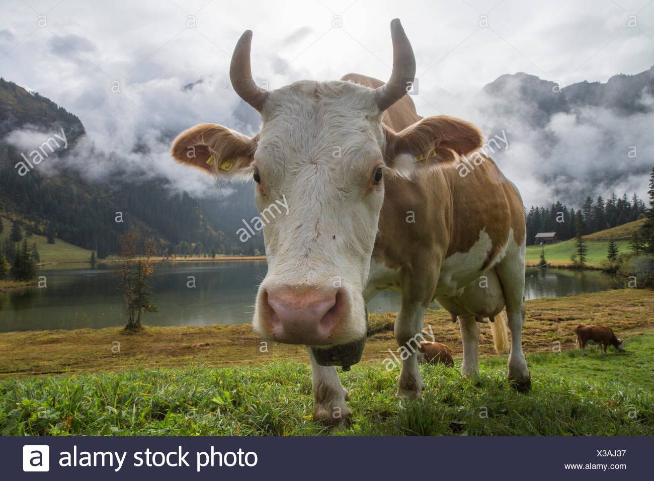 Lauenensee, cows, mountain lake, cow, cows, agriculture, animals, animal, canton Bern, Bernese Oberland, Switzerland, Europe, - Stock Image