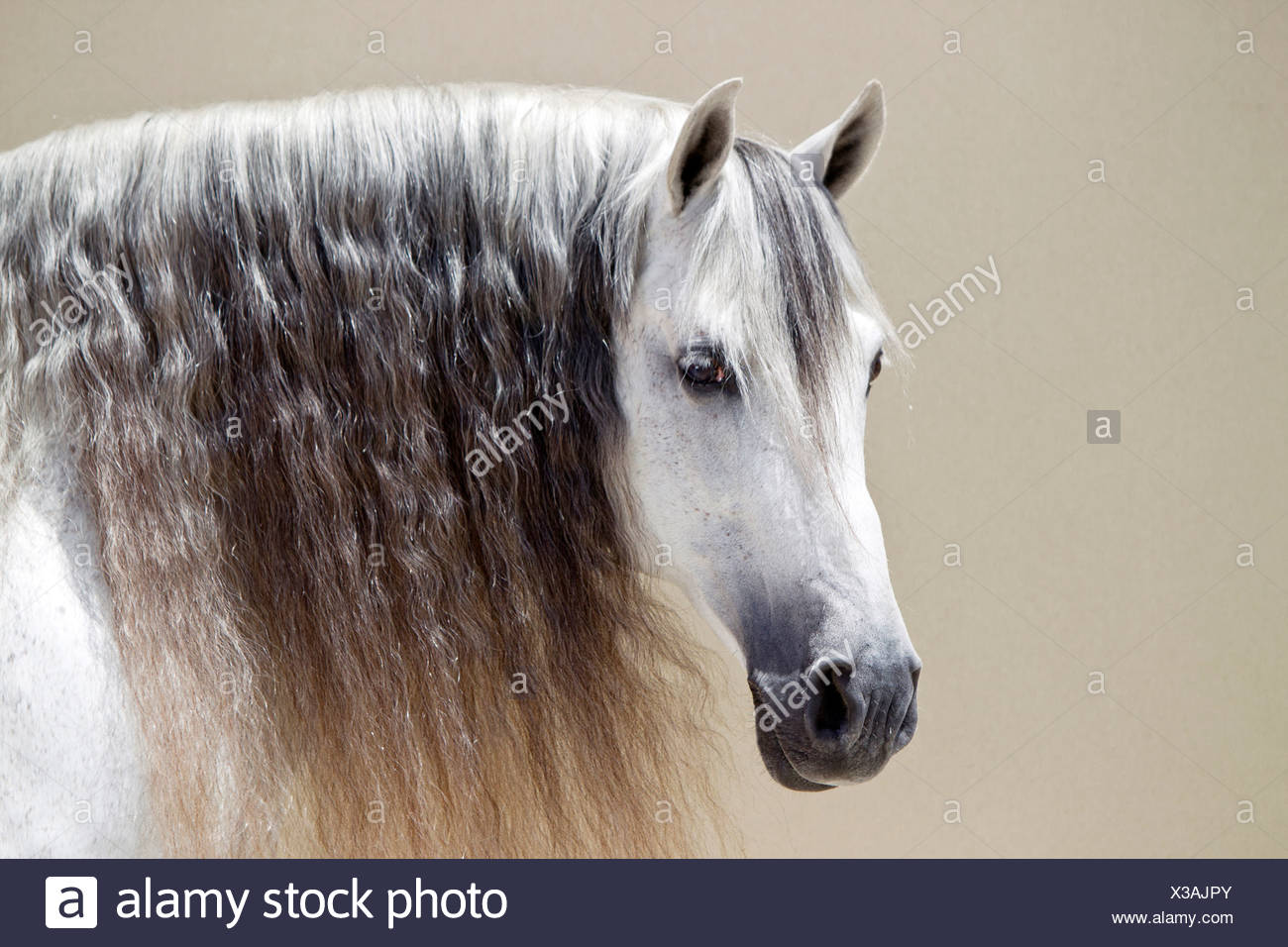 Pure Spanish Horse, PRE, Andalusian Horse - Stock Image
