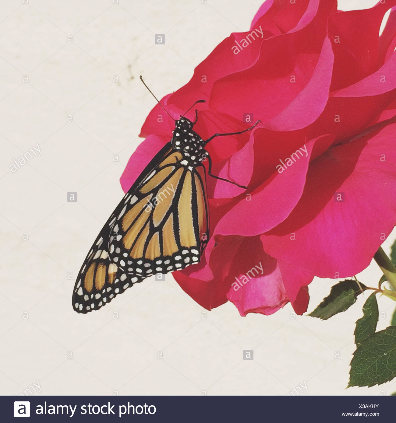 Monarch butterfly on rose's head - Stock Image