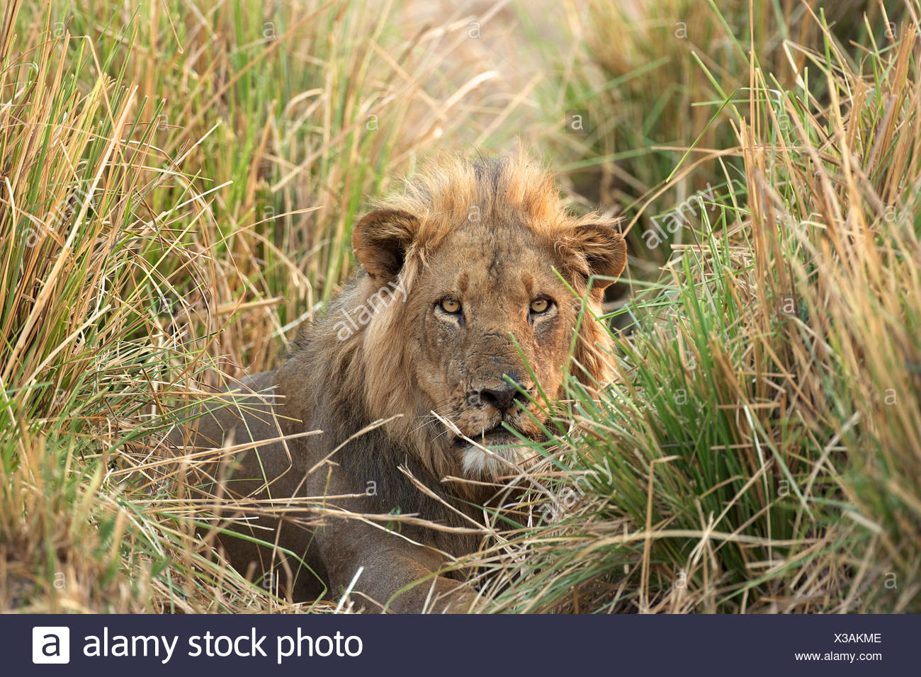 Male lion - Panthera leo - hiding in adrenaline grass, Mana Pools National Park, Zimbabwe, Africa - Stock Image