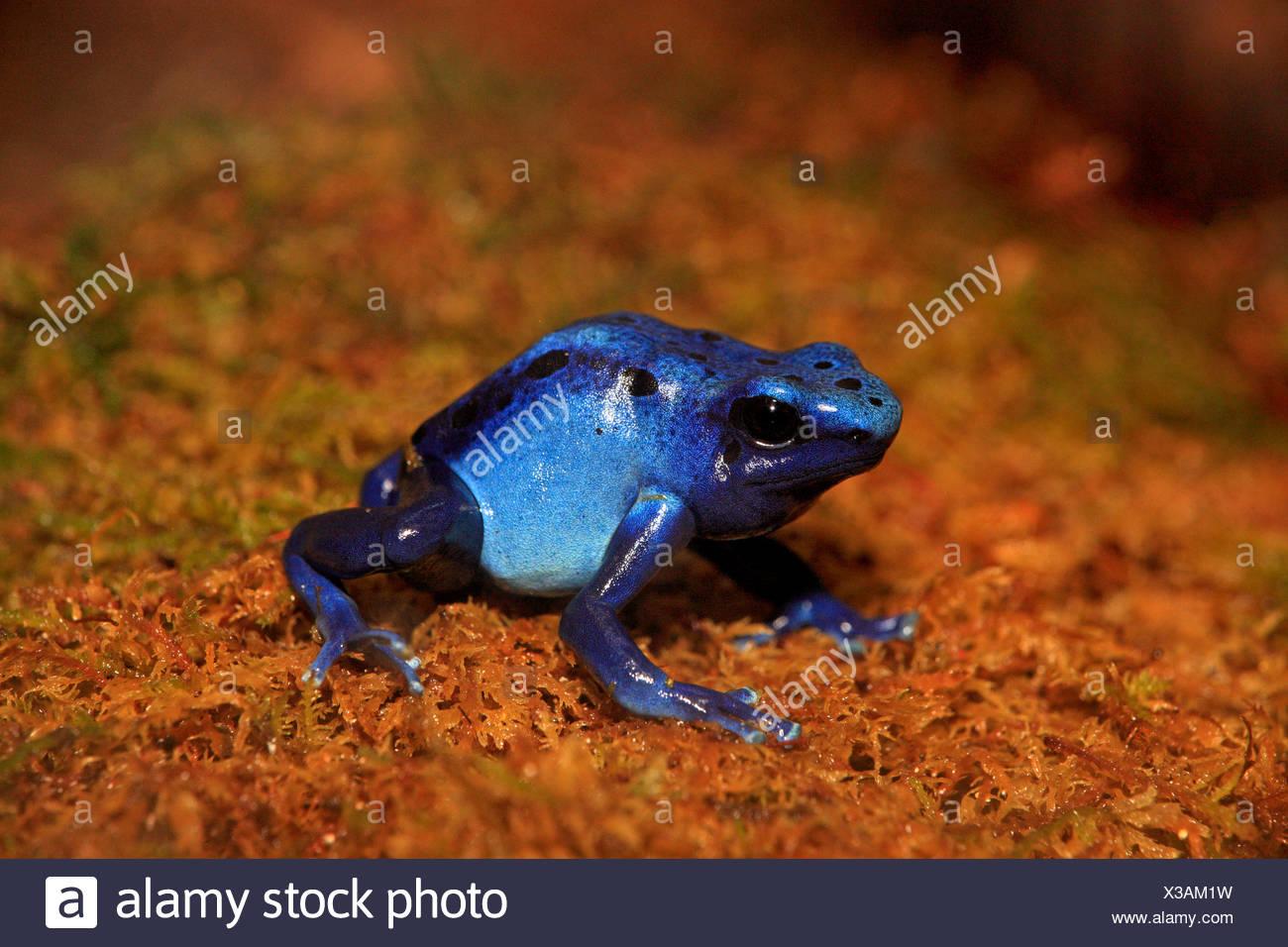 Blue poison dart frog, on shore, South America / (Dendrobates tinctorius) - Stock Image