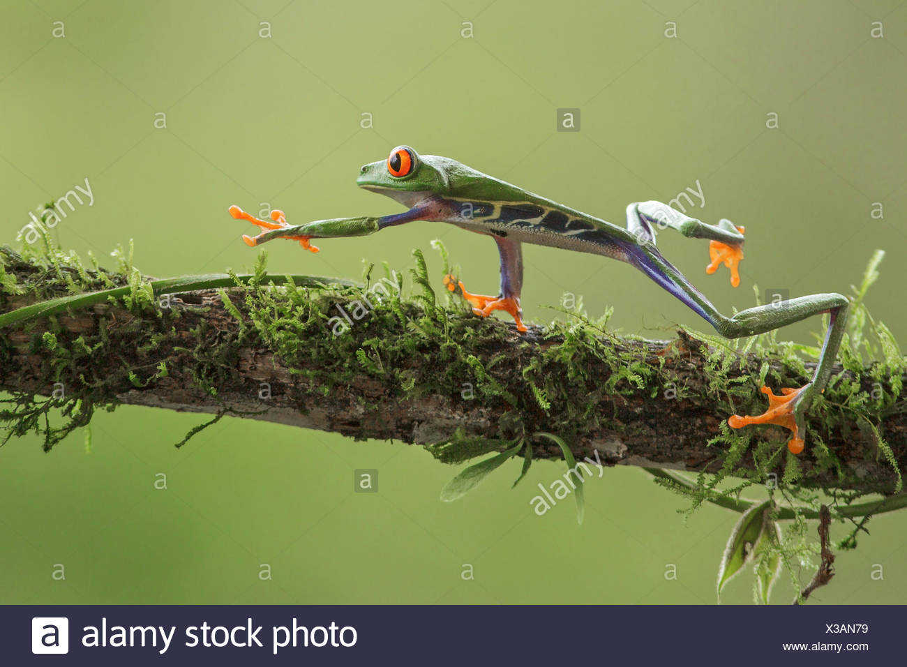 Macro Redeyed Tree Frog perched on a branch in Costa Rica - Stock Image