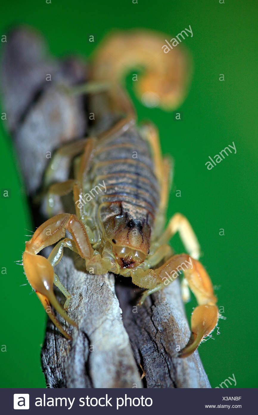 European buthus scorpion Buthus occitanus portrait on branch Spain - Stock Image
