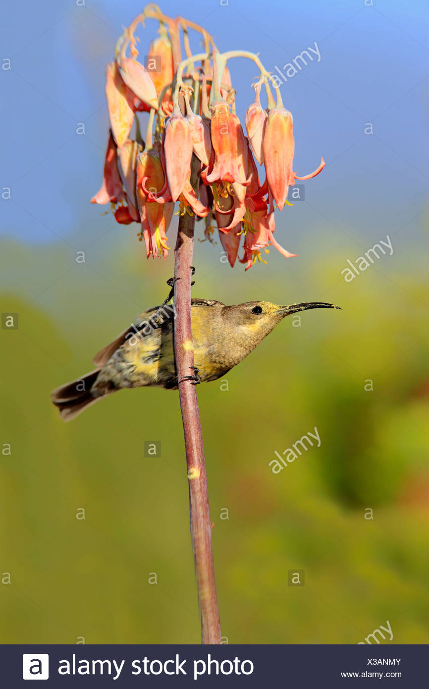 Malachite Sunbird, female, Oudtshoorn, Klein Karoo, South Africa / (Nectarinia famosa) - Stock Image