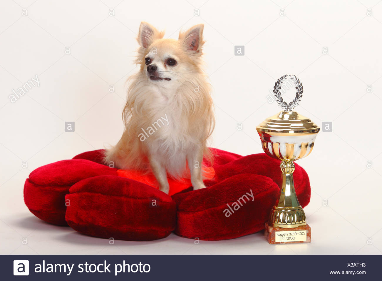 Chihuahua, longhaired, with trophy sitting on red cushion. Stock Photo