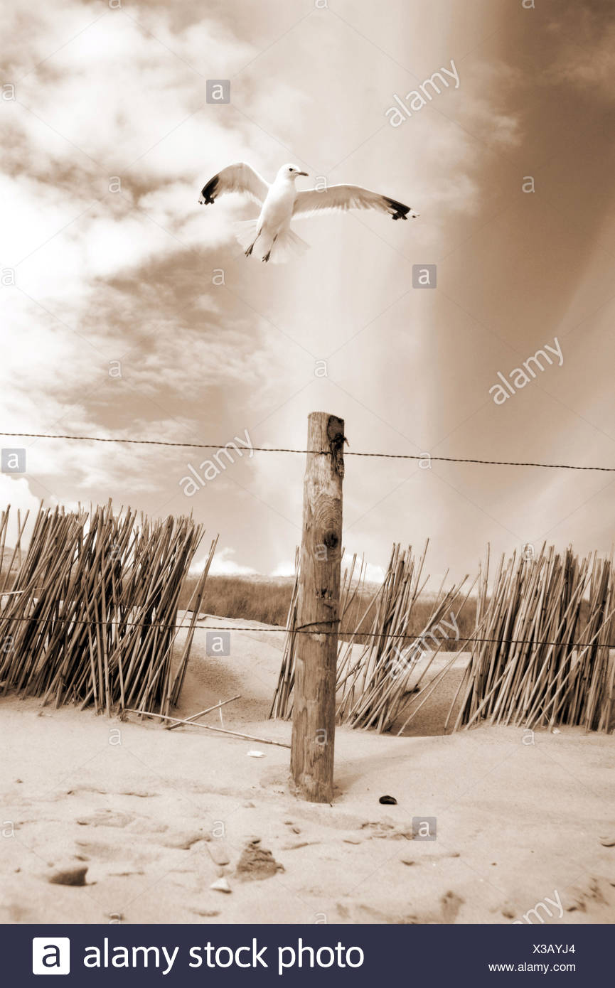 white sea gull flying over the dunes in bright sepia tones, - Stock Image