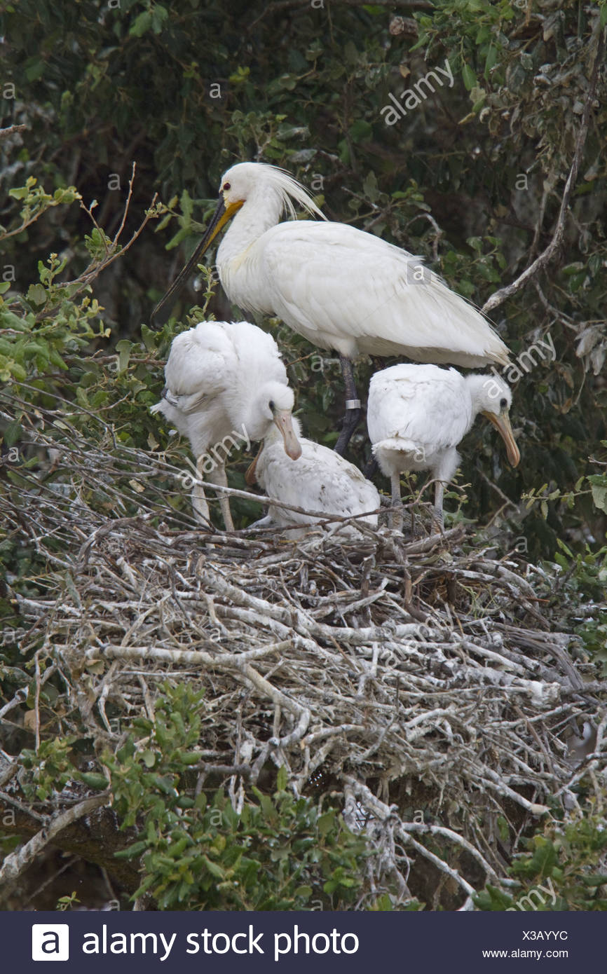 Adult and young Eurasian Spoonbill in Nesting Colony, Coto Donana, Spain. - Stock Image